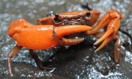 El phallangothelphusa tangerina es un cangrejo de agua dulce de color mandarina. Fue encontrado en una expediciones hechas en Serranía de los Yariguíes.