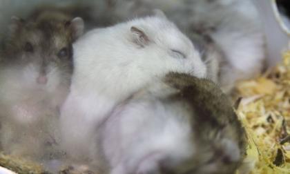 Trasplantan a ratas minihígados humanos creados en laboratorio