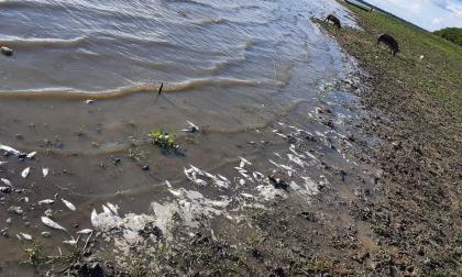 Autoridades ambientales investigan mortandad de peces.