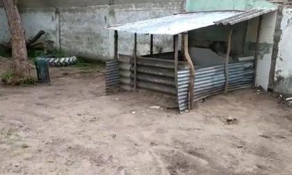 Descubren criadero de cerdos en el interior de colegio en Campeche