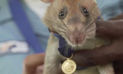 En video | Magawa, la rata que fue condecorada por detectar minas antipersona