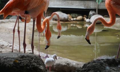 Nace primer flamenco en la historia del Zoológico de Barranquilla