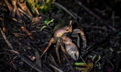 El cangrejo azul que habita en la ciénaga atraviesa la nueva Circunvalar durante su proceso migratorio.