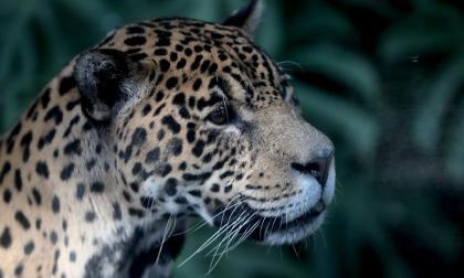 El jaguar también habita en la Sierra Nevada de Santa Marta.
