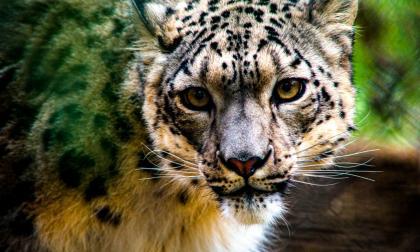EE.UU reporta el primer positivo de Covid-19 de un leopardo de las nieves