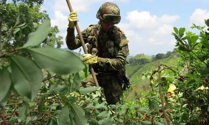Gobierno reporta la erradicación de 130 mil hectáreas de coca