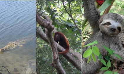Caimanes, un mono y un perezoso hacen presencia en el Tayrona