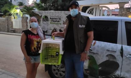 Rescatan 124 especies silvestres cautivas en 31 barrios de Santa Marta