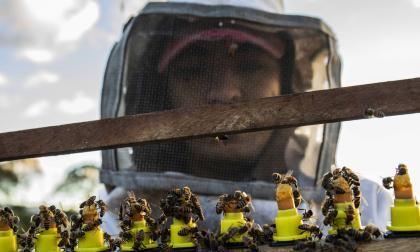 """Proponen entrenar abejas para """"sacar la lengua"""" al oler covid-19"""