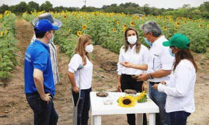 Así va el proyecto de siembra de girasoles en Santo Tomás