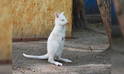 Nació un encantador canguro albino en un zoológico ruso