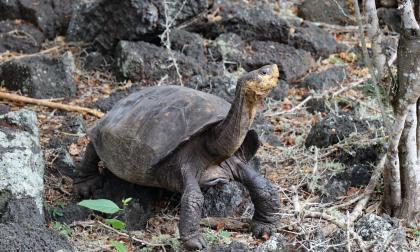 Encuentran en Islas Galápagos a tortuga que se creía extinta hace 100 años