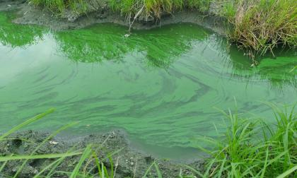 Concentración de algas origina contaminación en ciénaga de Luruaco
