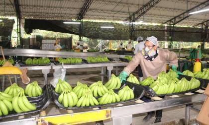 Bananeros e ICA firman convenio para frenar el Fusarium en la costa Caribe