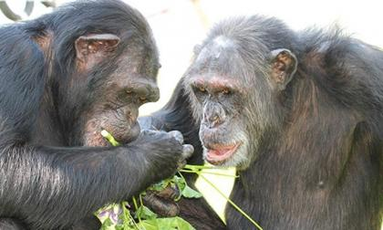 Los chimpancés en cautiverio pueden sufrir afecciones mentales