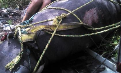 Pescadores no se confundieron, sabían que estaban matando a una manatí