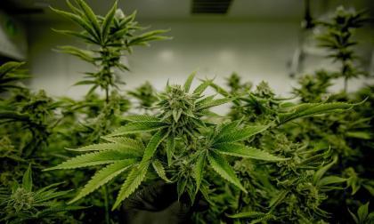 Duque firma decreto de exportación de flor seca de cannabis