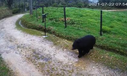 Avistamiento de oso de anteojos en vereda de Chapinero, en Bogotá