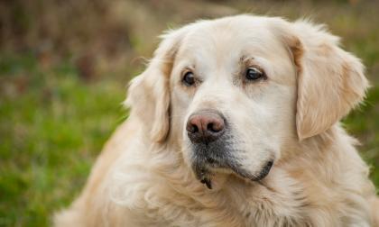 Señales para saber si su perro sufre 'Alzheimer'