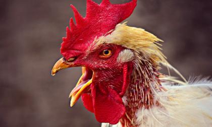 ¿Ingenieros de Google deshabilitaron la palabra 'gallo' del traductor?