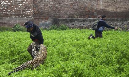 El ataque de un leopardo en una ciudad de India