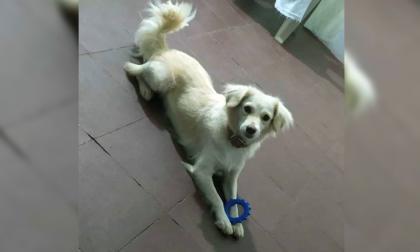 Mascotas Wasapea   'Cremita' se perdió en Concorde, Malambo