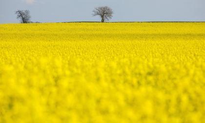 La bella alfombra amarilla provocada por los campos de flor de colza