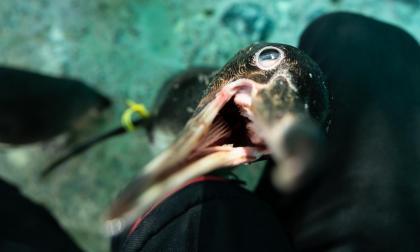 Los pingüinos de Humboldt que aprenden a ser ciegos en un refugio chileno