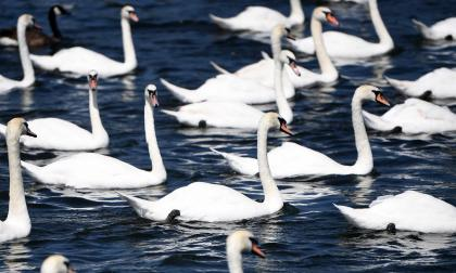 Inglaterra retoma la tradicional fiesta del censo de cisnes