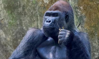 Gorilas dan positivo para covid-19 en zoológico de Atlanta