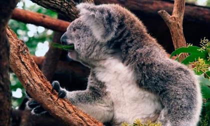 Australia lanza plan para salvar a sus koalas