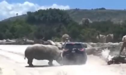 En video   Rinoceronte ataca a camioneta en zoológico de Puebla, México