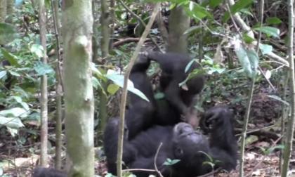 El tierno momento en que un chimpancé juega a los aviones con su cría