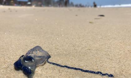 En video   Miles de personas picadas por medusas en Australia