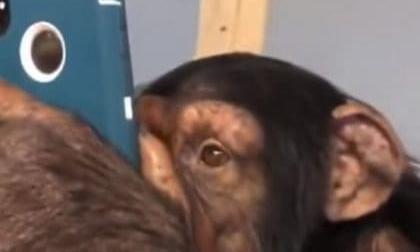 En video | Chimpancé usando Instagram se hace viral