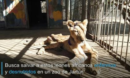 En video   #Sudananimalrescue, campaña para salvar leones desnutridos en Sudán