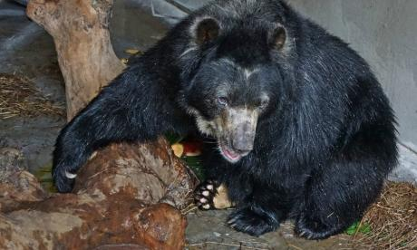 En video | Un oso de anteojos es el nuevo integrante de la familia 'zoo'