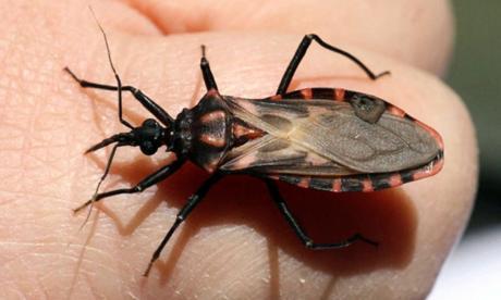 Conozca qué es el mal de Chagas, cómo se propaga, sus síntomas y cómo prevenirlo