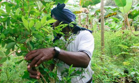 Las razones del aumento de la siembra de coca en el país