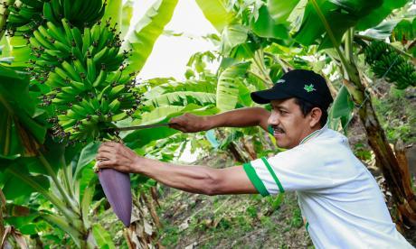 Argentina abre mercado al banano colombiano