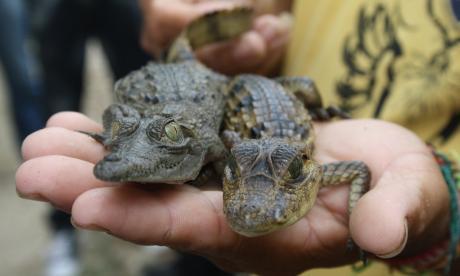 Autoridades ambientales de Córdoba garantizan conservación del caimán aguja