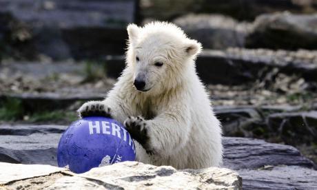 La osa polar Hertha juega con una pelota del club de fútbol Hertha BSC.