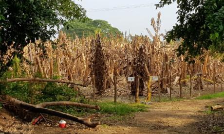 La emergencia por hongo en plátano es para ampliar controles fitosanitarios: ICA