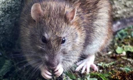 En el estudio realizado con ratas de alcantarilla se evidenció que estas fueron capaces de reconocer el ritmo de 'Cumpleaños feliz'.