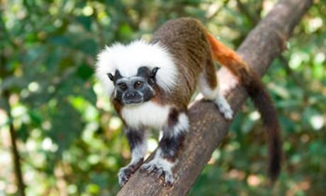 El tití cabeciblanco es una especie endémica del Caribe colombiano.
