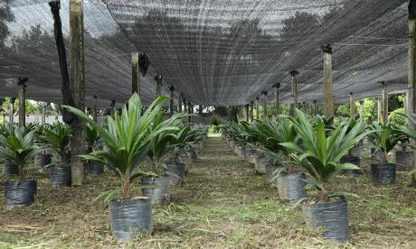 El híbrido OxG Corpoica ElMira, alternativa en cultivos de palma de aceite