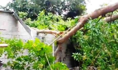 Árbol cayó sobre una casa en Sevilla, Zona Bananera