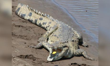 S.O.S. por el caimán aguja
