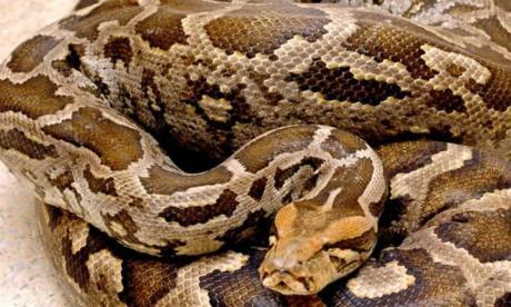 Serpiente explotó luego de haberse comido a una vaca
