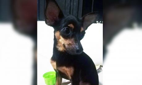 Mascotas Wasapea   'Lucas' se perdió en Los Robles